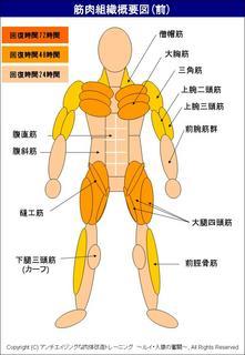 筋肉の回復時間を説明した概要図(前).JPG