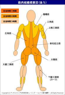 筋肉の回復時間を説明した概要図(後ろ).JPG